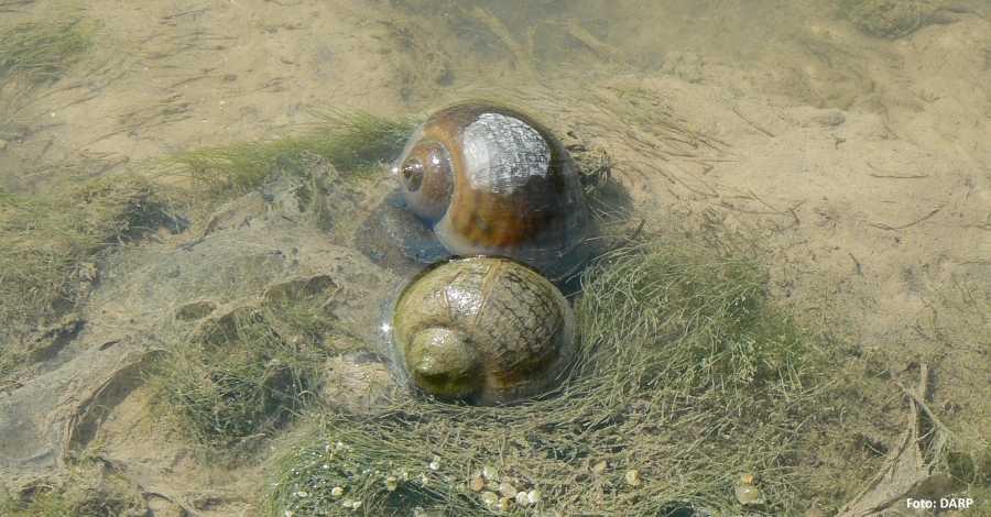 Ebre   Detectat un nou focus de caragol maçana al riu Ebre al terme municipal de Miravet