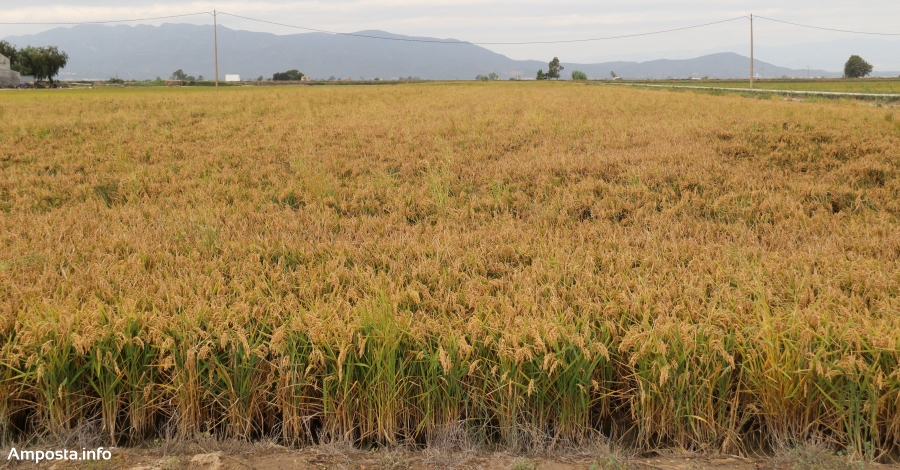 La campanya de l'arròs d'enguany ha estat bona en quantitat i excel·lent en qualitat | Amposta.info