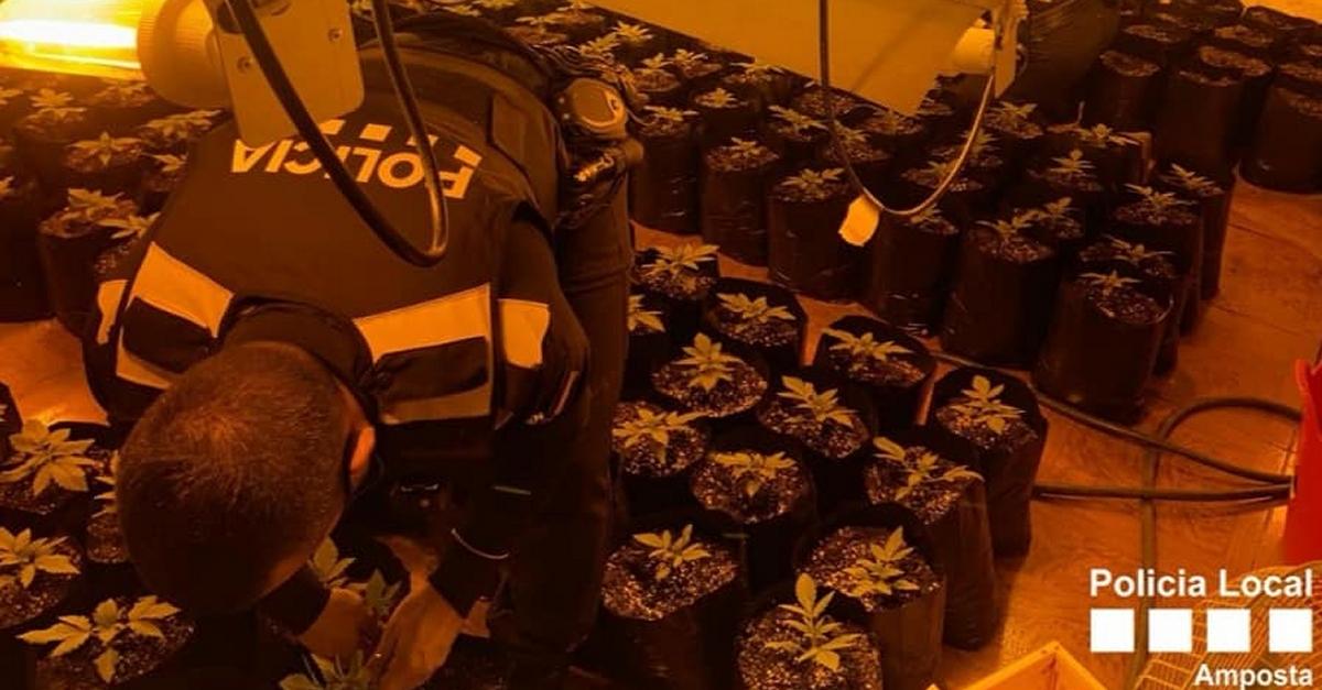 Desmantellada una plantació de marihuana en un immoble a la partida de Tosses