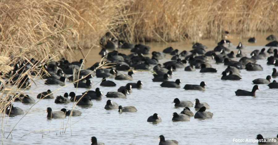 S'inicia el cens hivernal d'ocells aquàtics 2019 al Delta de l'Ebre