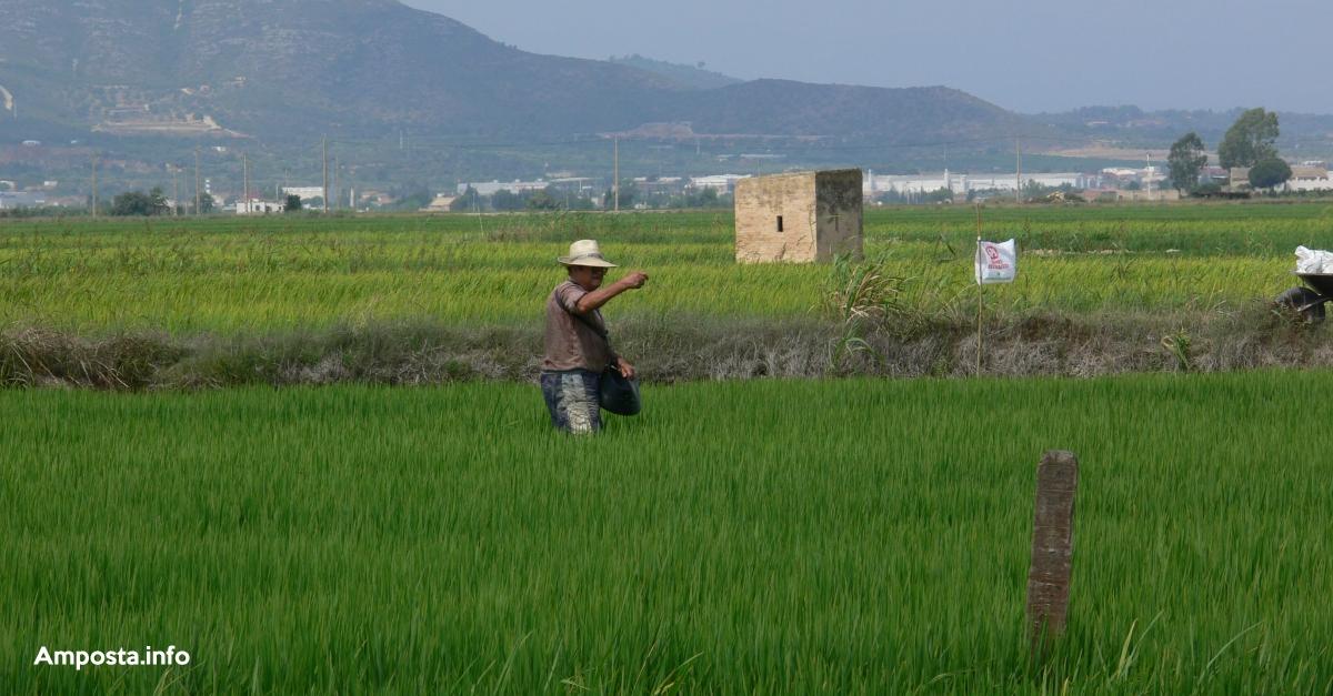 La rotació del cultiu d'arròs amb quinoa permetria frenar les males herbes i diversificar el sector al Delta | Amposta.info