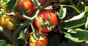 Montsià: Productes de l'horta Km 0